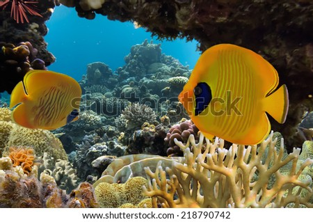 Masked Butterfly Fish and coral reef, Red Sea. Egypt - stock photo