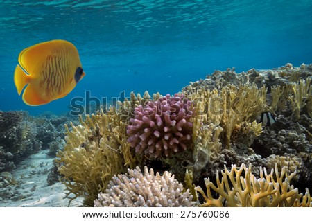 Masked Butterfly Fish and coral reef., Red Sea, Egypt - stock photo
