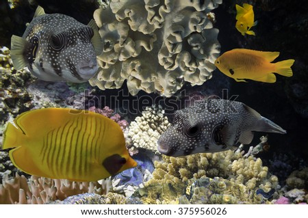 Masked Butterfly Fish and coral reef, Red Sea, Egypt - stock photo