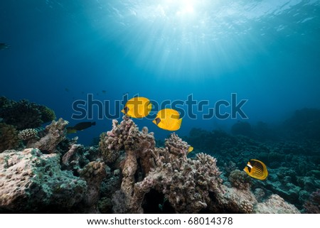 Masked butterfly fish and tropical reef in the Red Sea. - stock photo