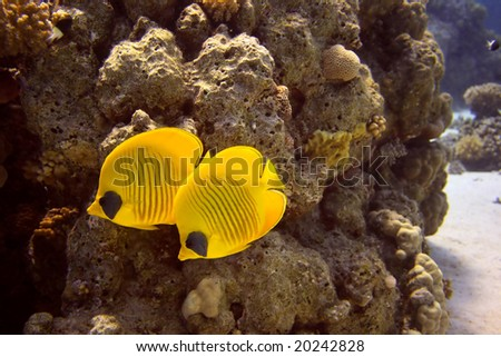 Masked butterfly fishs - picture taken in the red sea - stock photo