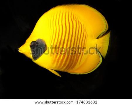 Masked Butterflyfish (Chaetodon semilarvatus)  - stock photo