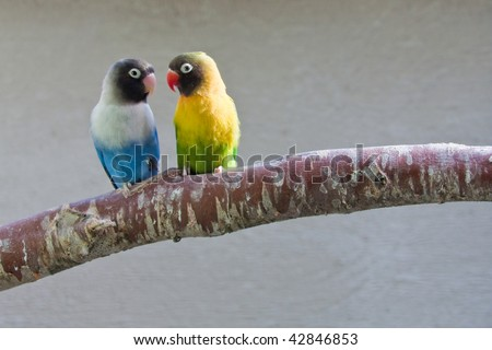 Masked Lovebirds on branch (watching each other) - stock photo