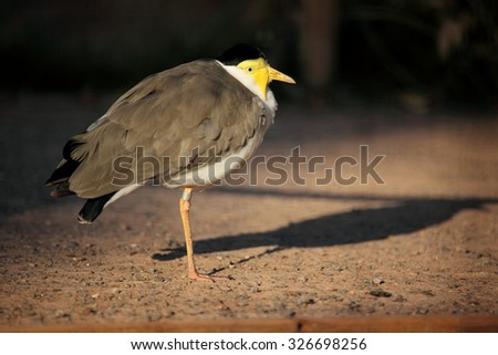 Masked plover (Vanellus miles) also known as masked lapwing. - stock photo