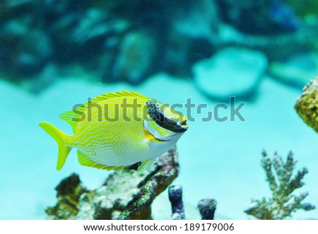 Masked Rabbitfish - Siganus puellus in blue water od aquarium - stock photo