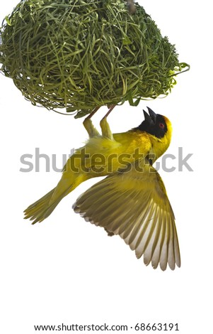 Masked weaver hanging from nest against a white background; Ploceus velatus; South Africa - stock photo