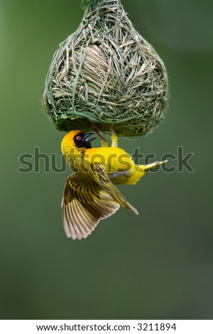 Masked Weaver; Ploceus Velatus; hanging upside down from nest; South Africa - stock photo