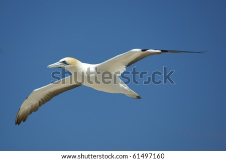 Booby Bird Stock Images, Royalty-Free Images & Vectors ... - photo#30