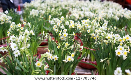 mass narcissus blooming in hong kong at lunar chinese new year flower fair - stock photo