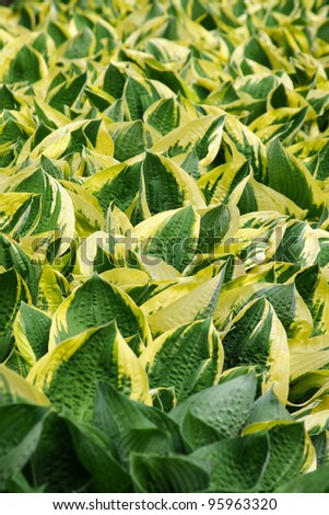 Mass planting of green and yellow striped hosta. - stock photo