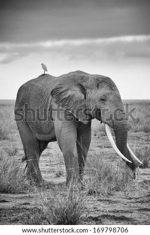 Massive adult elephants with huge tusks - stock photo