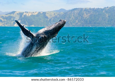 Massive humpback whale playing in water captured from Whale watching boat in Kaikoura, New Zealand. The animal is on its route to Australia - stock photo
