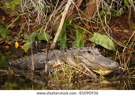 Massive male American Alligator (Alligator mississippiensis) hides in the bushes, basking in sunlight, in Everglades National Park, Florida - stock photo