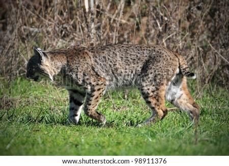 Massive Male Bobcat - stock photo