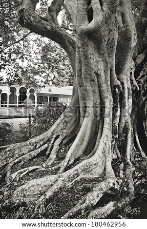 Massive old fig tree in front of an old mansion - stock photo