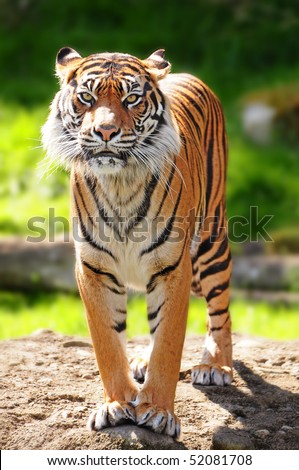 Massive Sumatran tiger standing over rock staring towards the camera