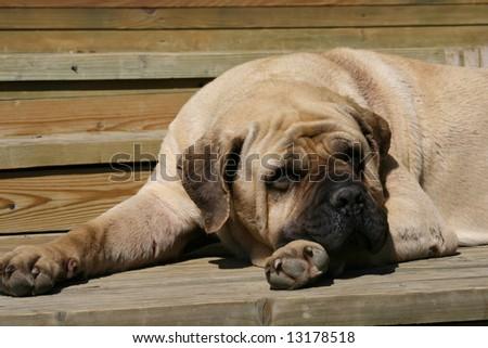 Mastiff - stock photo