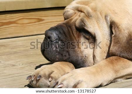 Mastiff  5 - stock photo