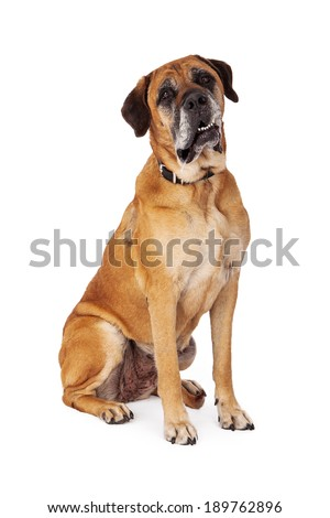 Mastiff dog sitting against a white backdrop and looking at the camera