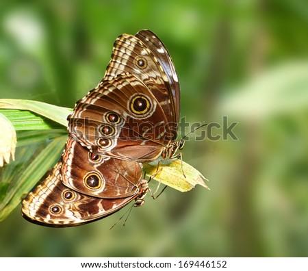 Mating butterfly - Owl butterfly (caligo eurilochus) - stock photo