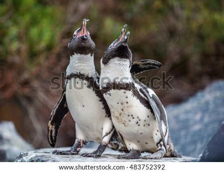 Mating dance and singing of couple of African penguins during mating season. African penguin ( Spheniscus demersus) also as the jackass penguin and black-footed penguin. Boulders colony. South Africa