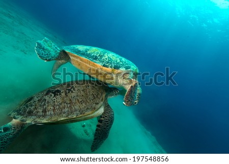 Mating green turtles in the Red Sea - stock photo