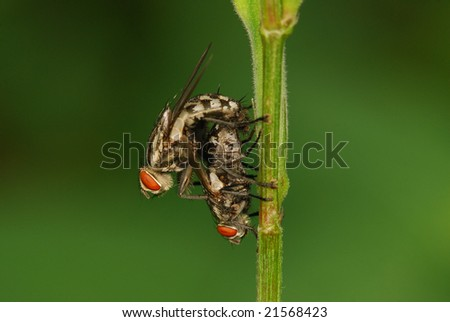 mating houseflies