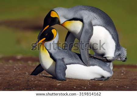 Mating king penguins with green background, Falkland Islands - stock photo
