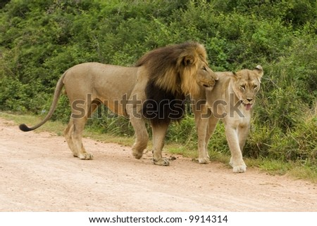 Mating Lions can spend up to a week Mating - stock photo