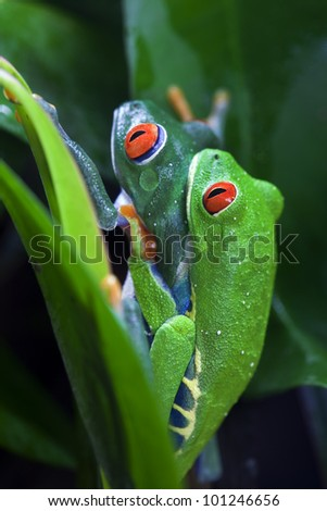 Mating pair of Red Eyed Tree Frogs Agalychnis callidryas in the jungle. - stock photo