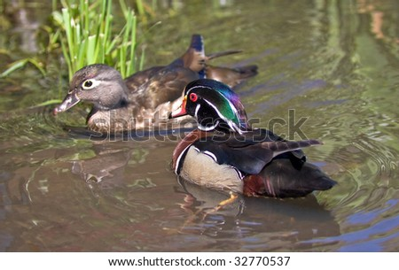 Mating pair of wood ducks - stock photo