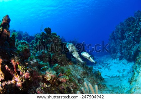 Mating Pufferfish, Grand Cayman - stock photo
