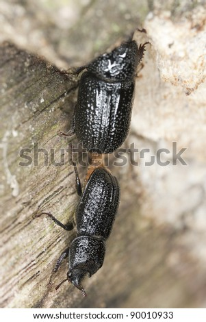 Mating Rhinoceros Beetle (Sinodendron cylindricum) - stock photo