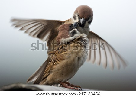 mating sparrow - stock photo