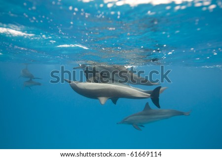 Mating Spinner dolphins (Stenella longirostris). Sataya, Southern Red Sea, Egypt.