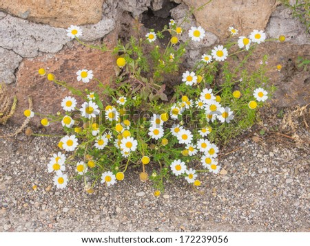 Matricaria chamomilla is an annual plant of the composite family Asteraceae. - stock photo