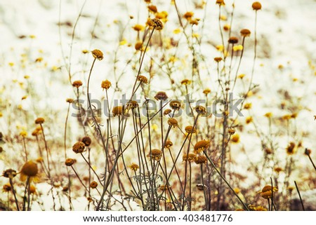 Matricaria chamomilla (Matricaria recutita), commonly known as chamomile (also spelled camomile), German chamomile, Hungarian chamomile (kamilla), wild chamomile or scented mayweed.