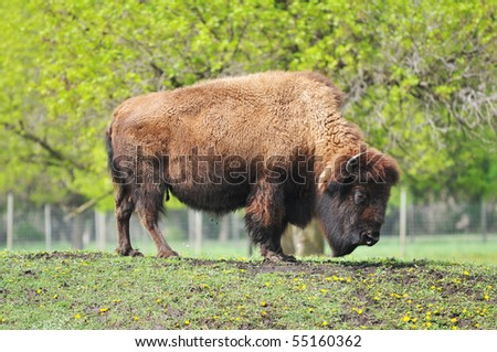Mature Bison Bull Atop Knoll
