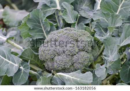 mature broccoli buds to be harvested - stock photo