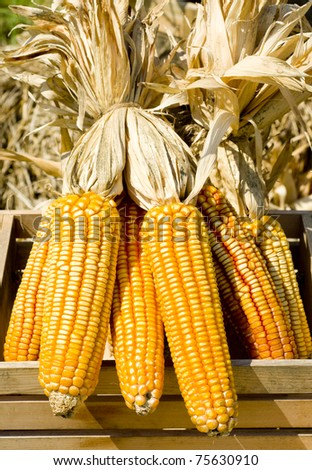 Mature corn cob - stock photo