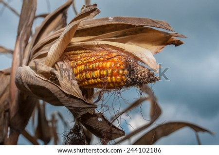 mature ear of corn (maize) - stock photo