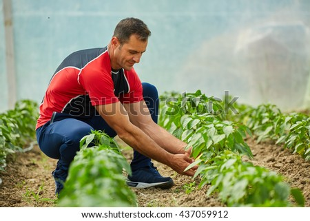 Mature farmer checking his bell peppers plantation in the greenhouse - stock photo
