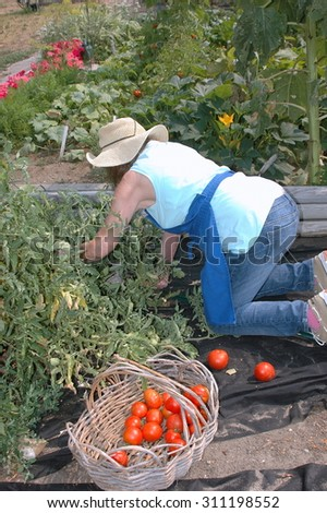 Mature female picking tomatoes in her organic garden outdoors.