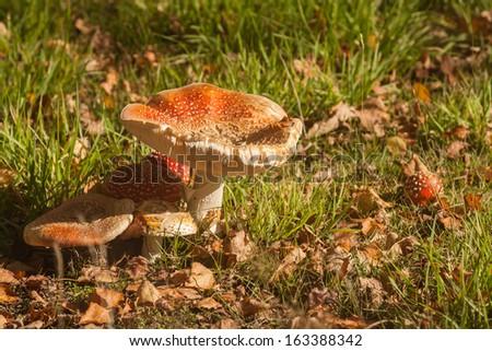 mature fly agaric mushrooms - stock photo