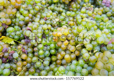 Mature fresh grapes from the harvest - stock photo