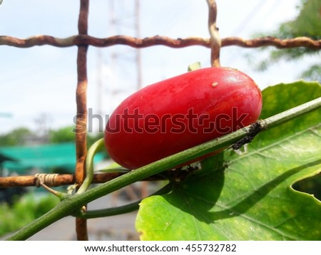 Mature fruit of ivy gourd - stock photo