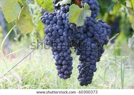 Mature grape in vineyard