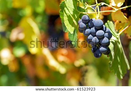 Mature grapes. - stock photo