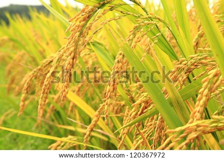 Mature harvest of golden rice - stock photo