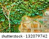mature ivy plant on an old stone wall - stock photo
